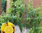 Citrónový Eukalyptus (rostlina: eucalyptus citriodora) - semena blahovičníku 7 ks