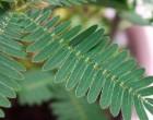 Citlivka stydlivá (Mimosa pudica) - semena masožravky 7 ks