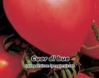 Rajče tyčkové - Cuor di blue - semena rajčete 0,2g