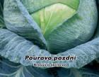 Zelí hlávkové Pourovo pozdní