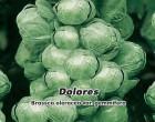 Kapusta růžičková Dolores F1