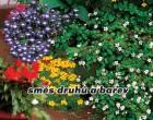 Letničky balkonové - Směs druhů a barev - semena letniček 1g