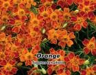Aksamitník jemnolistý Orange