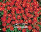 Aksamitník jemnolistý Red Gem