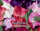 Hrachor vonný - Směs barev - semena hrachoru 3g
