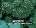 Brokolice F1 - Marathon - Semena 30 s