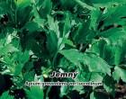 Celer listový (naťový) - Jemný - Semena - 400 s