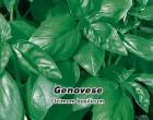 Bazalka pravá Genovesse