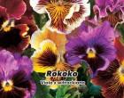 Maceška zahradní - Rokoko (Květina: Viola x wittrockiana) - semena macešky 0,2 g