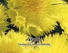 Chrpa velkohlavá žlutá