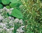 Směs víceletých aromatických rostlin na záhon