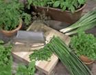 Směs jednoletých aromatických rostlin na záhon
