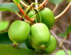 Minikiwi Issai (rostlina: actinidia arguta Issai) - semena minikiwi7 ks
