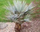 Palma Braheova (Brahea armata) 2 semena