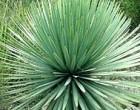 Juka Rigida (Yucca rigida) - semena juky 10 ks