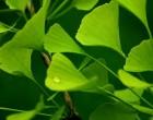 Jinan dvoulaločný - Ginkgo (Ginkgo biloba) 3 semena