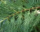 Cypřiš Stálezelený (Cupressus sempervirens) - 8 semen cypřiše