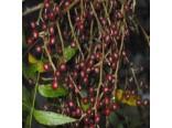 Pistácie čínská (rostlina: Pistacia chinensis) 4 semena