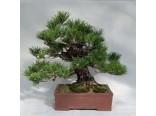 Borovice thunbergova (rostlina: Pinus thungergii) 4 semena