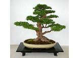 Jilm čínský (rostlina: Ulmus parvifolia) 5 semen