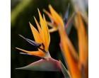 Strelície Královská (Strelizia reginae) - 3 semena strelície