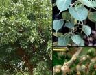 Fíkovník posvátný (rostlina: Ficus religiosa)  5 semínek