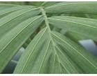 Palma Královská (Archontophoenix cunninghamiana)
