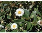 Cheesman (rostlina: Pachystegia insignis) cca 20 semen