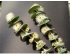 Eukalyptus Aplnina ( Eucalyptus alpina) 7 semen