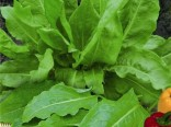 Šťovík víceletý (Rumex acetosa) - semínka šťovíku