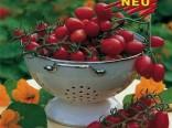 Cherry rajče Dasher F1