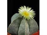 Kaktus Mix (kaktusy: Astrophytum) 6 semen kaktusu