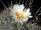 Kaktus hexadrophorus (rostlina: Thelocactus hexadrophorus) 6 semen