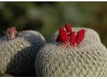 Kaktus Micromeris (rostlina: Epithelantha micromeris) 6 semen kaktusu