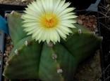 Kaktus Myriostigma (rostlina: Astrophytum myriostigma) – 6 semen kaktusu