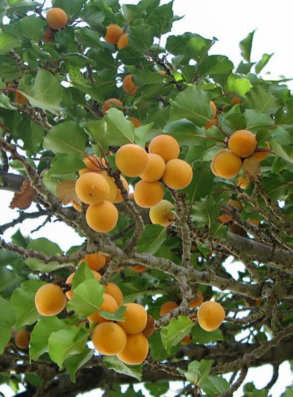 Jak na řez ovocných stromů abychom stromu pomohli a ne jej