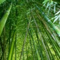 Pěstujeme bambusy