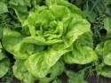 Salát, nejrozšířenější listová zelenina
