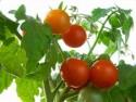 Voňavá rajčata z vlastní zahrady