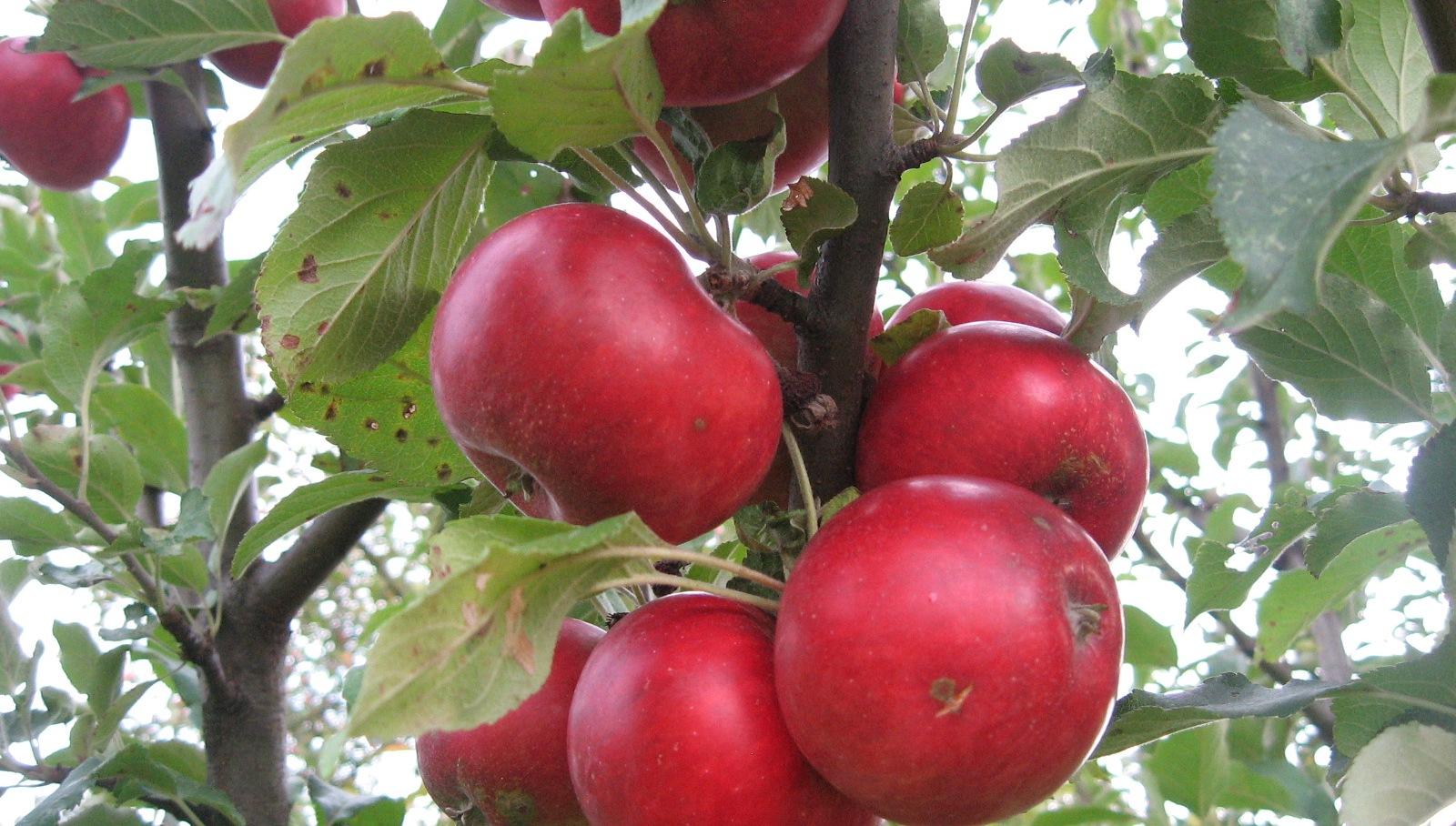 Choroby a škodcovia jablone
