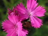 Hvozdík Kartouzek růžový